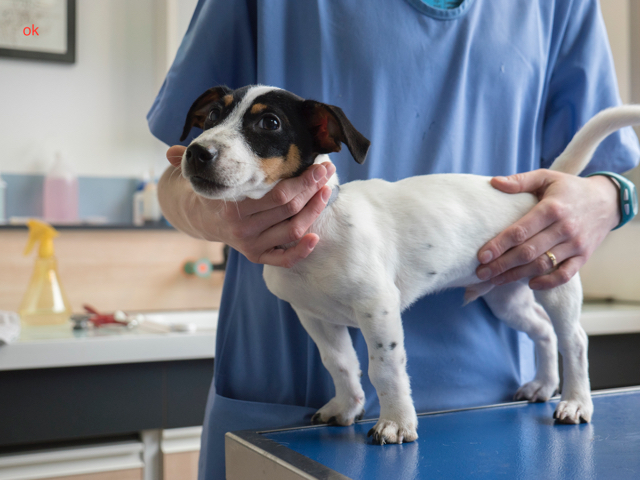 chiot jack Delaeter clinique veterinaire conflans andresy - 12